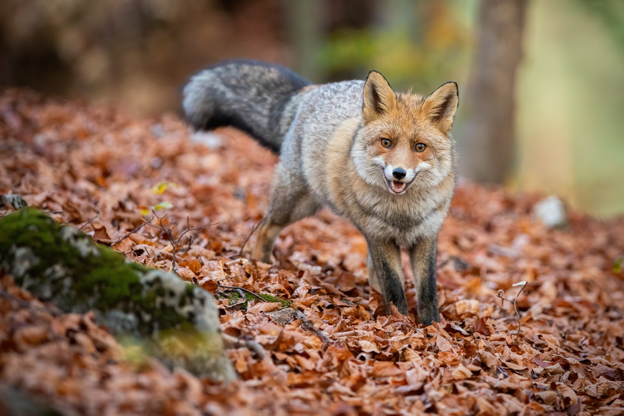 Red fox standing in forest on leaves in autumn nature